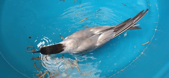 Final feliz para ave migratória atendida no Hospital Veterinário da UFPA
